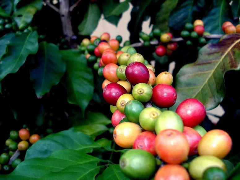 Ученые посчитали, когда наЗемле завершится кофе