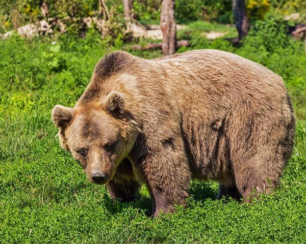 Медведь атаковал туристку в горах Сочи
