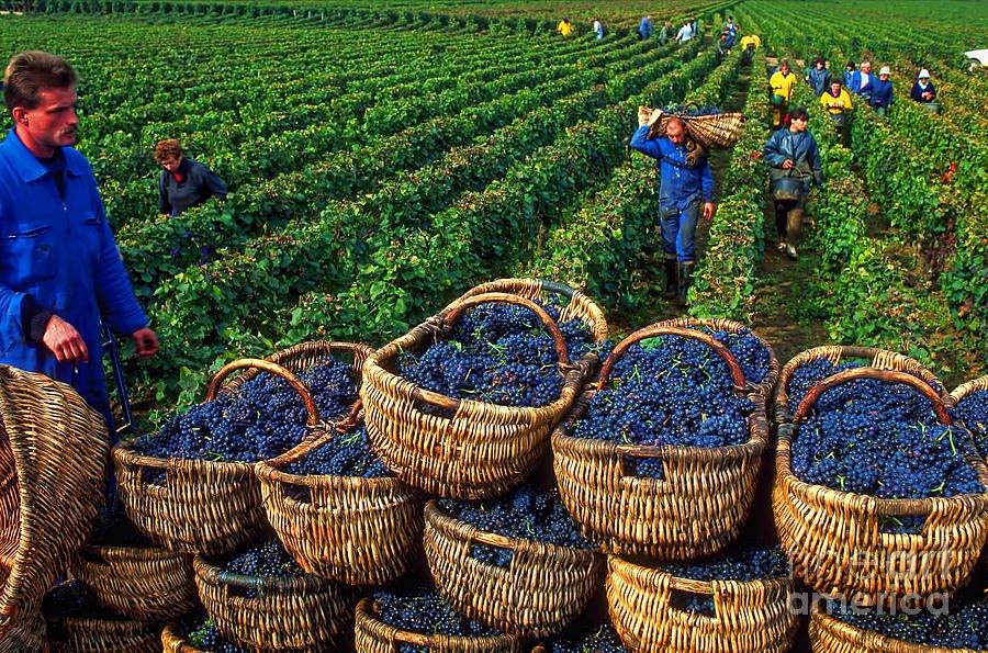 Крымская «Массандра» начала розлив вина сзащищенным географическим указанием