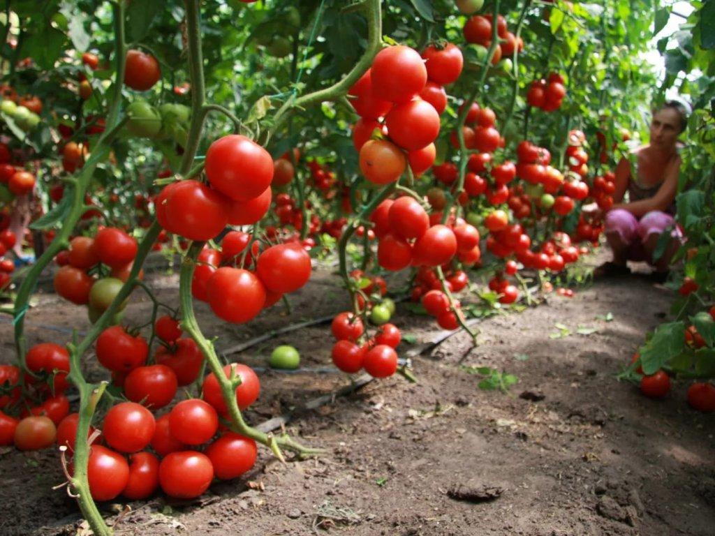 Кубань стала лидером страны пообъему производства тепличных овощей