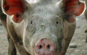 В окрестностях Новороссийска обнаружили десятки мертвых свинней