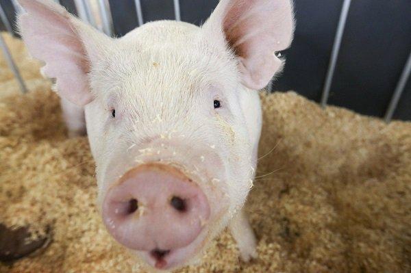 Вспышка африканской чумы свиней вКраснодарском крае