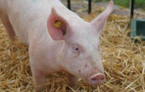 В РФ опаснее, чем в Африке. В Хабаровске нашли африканскую чуму свиней